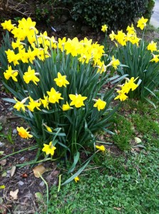 Clonard Road is absolutely full of daffodils these days!